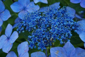 屋外・ミラーレスマクロの紫陽花