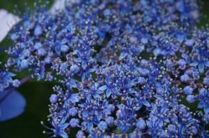 屋外・ミラーレスマクロの紫陽花2